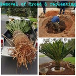 Removal of Cycad & replant again
